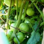 07-11-14_BetterBoy_Mass_Of_Tomatoes_02