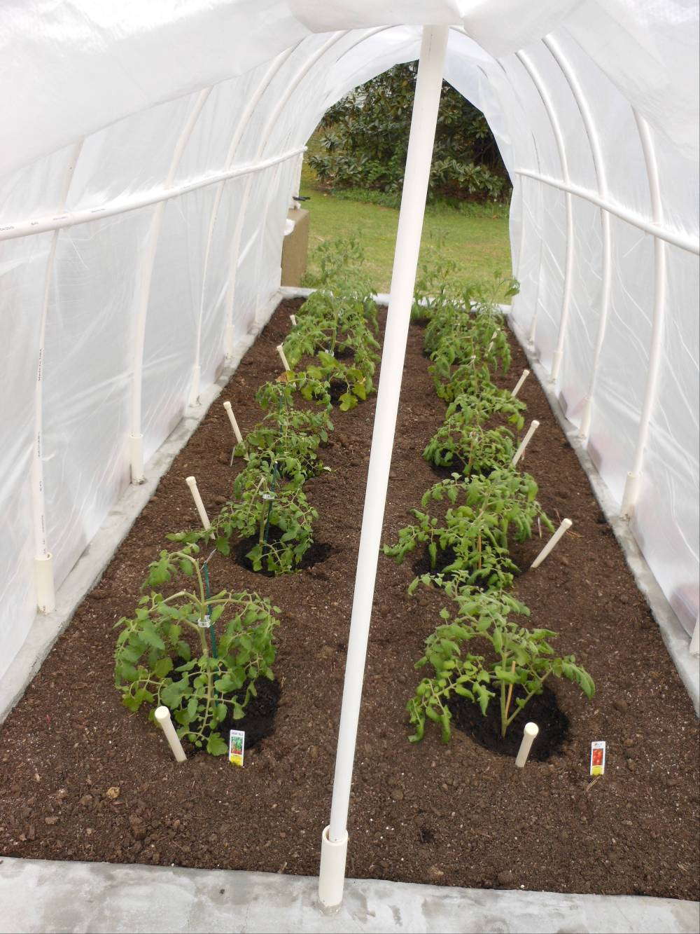 New garden planted with 12 young tomato plants – WaterStick Grow System