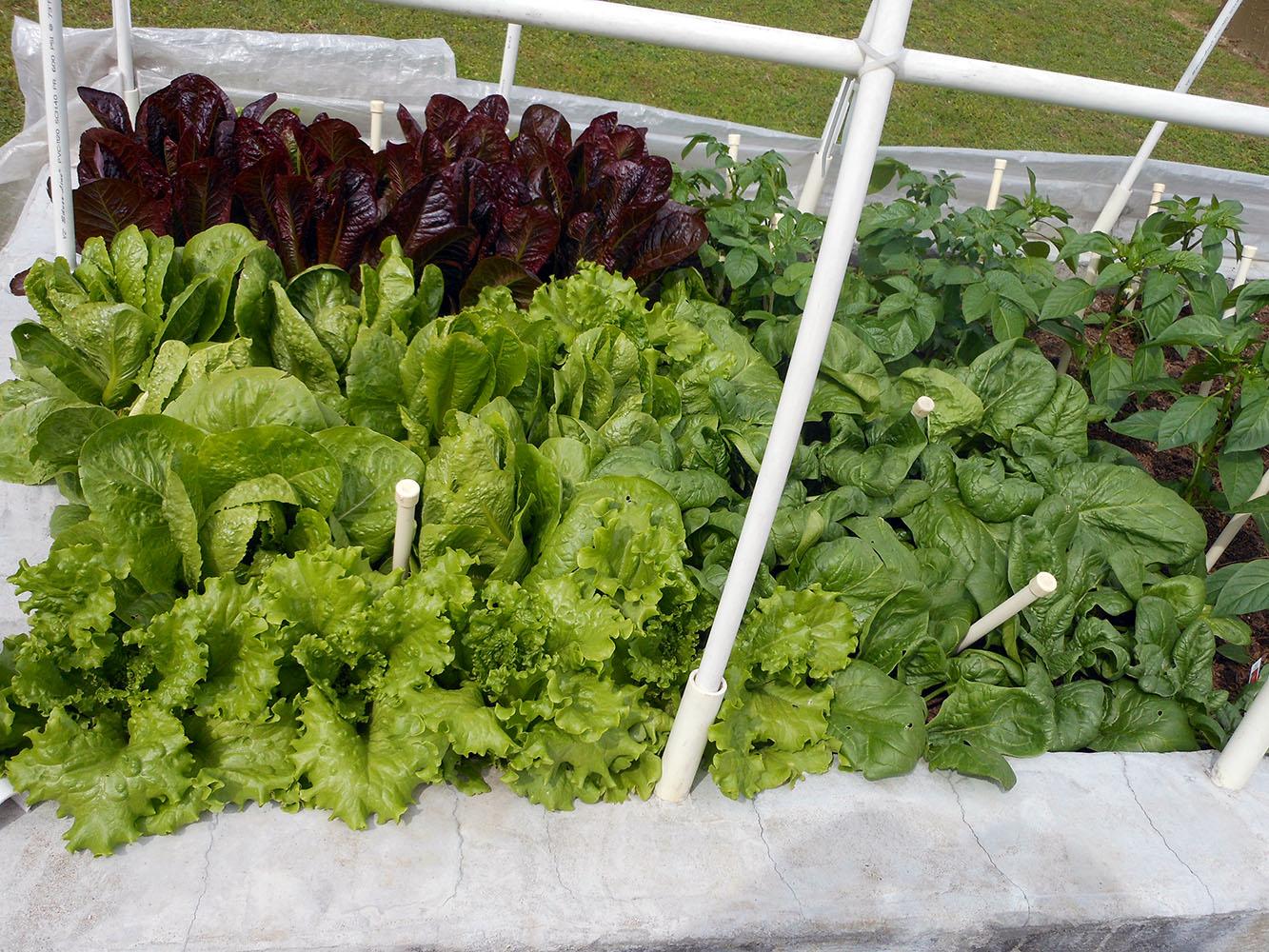 04-24-2015 Garden 2 Lettuce Spinach 02