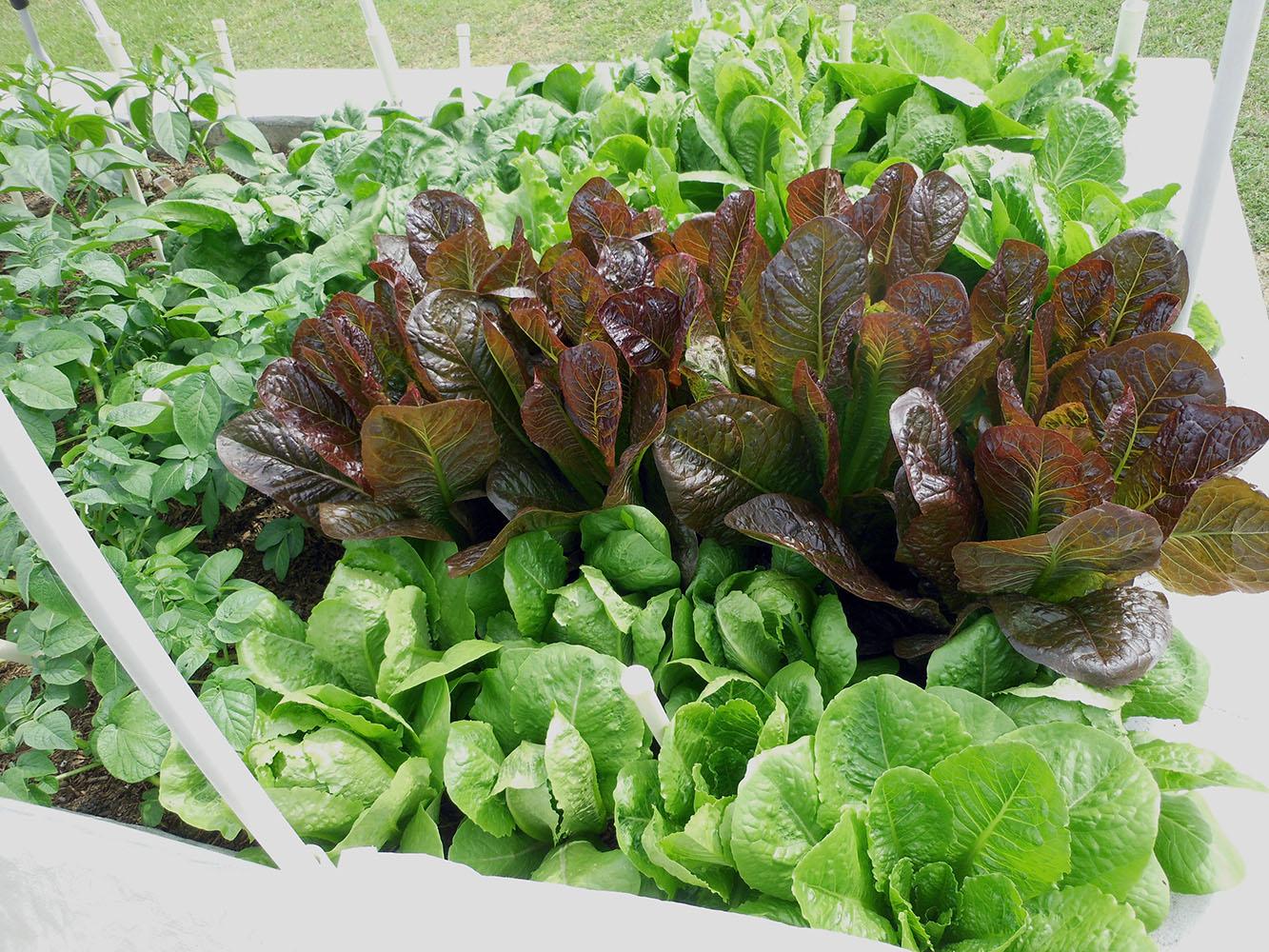 04-24-2015 Garden 2 Lettuce Spinach 05