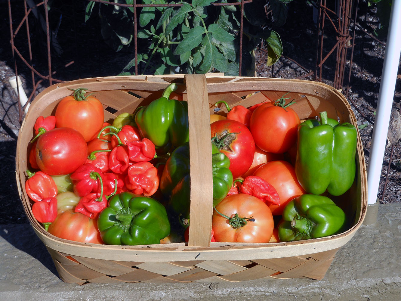 Basket of Peppers and Tomatoes 01