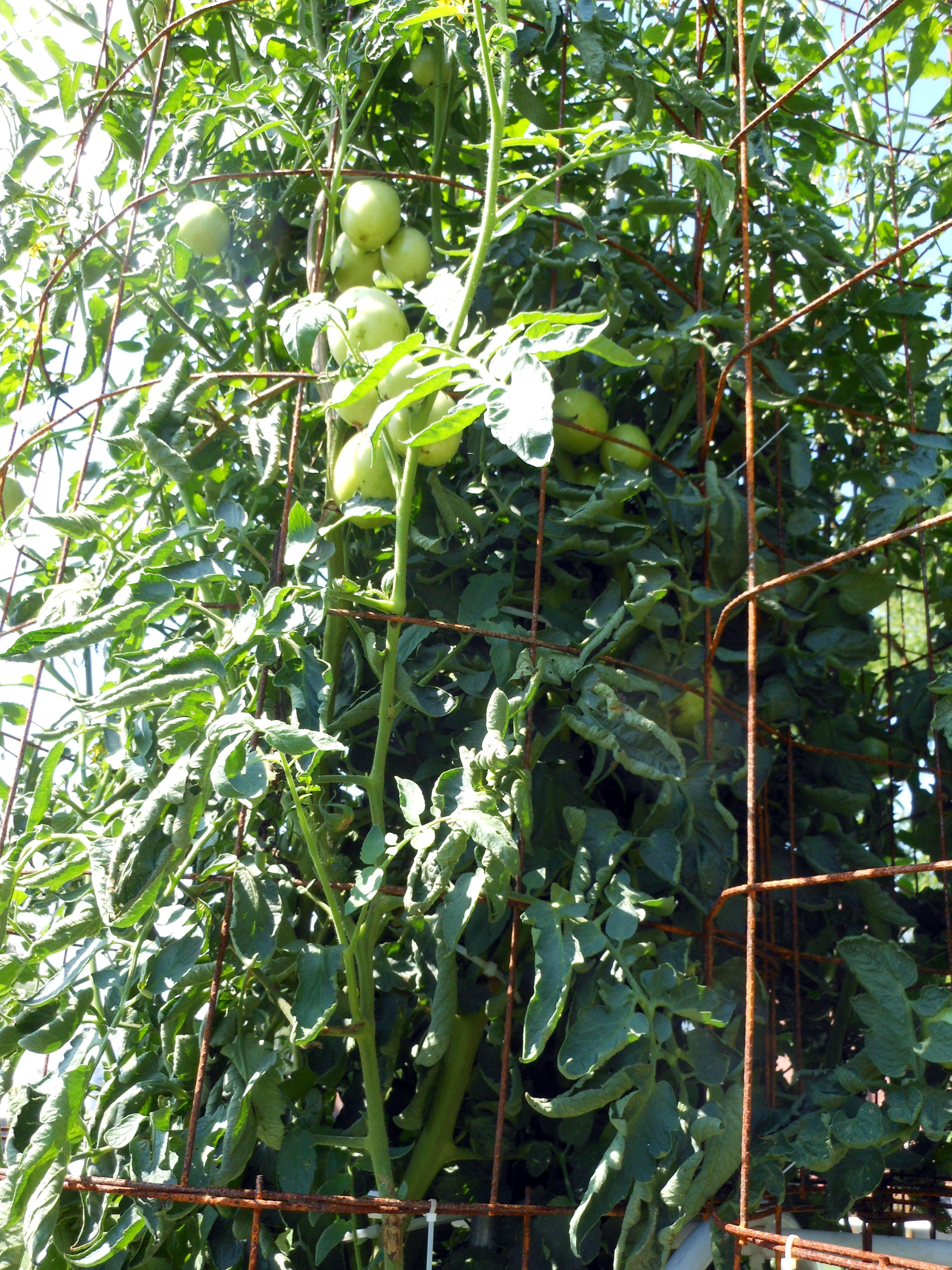 07-30-2016 Tomato Plants St Pauls L 12