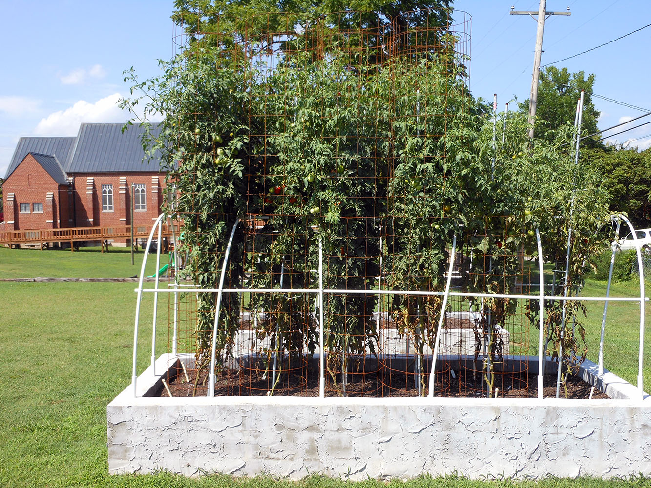 07-30-2016 Tomato Plants St Pauls S 01
