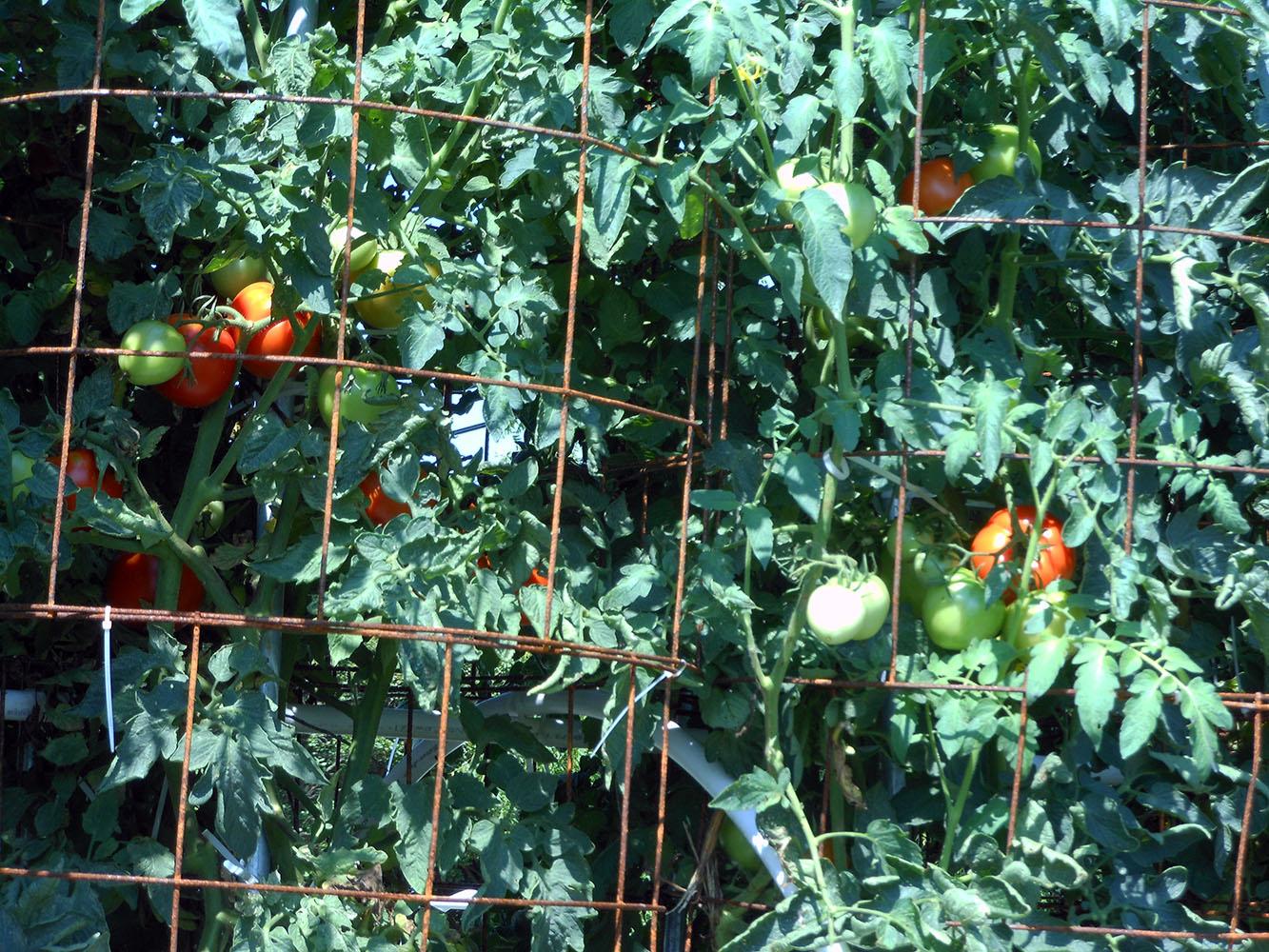 07-30-2016 Tomato Plants St Pauls S 03