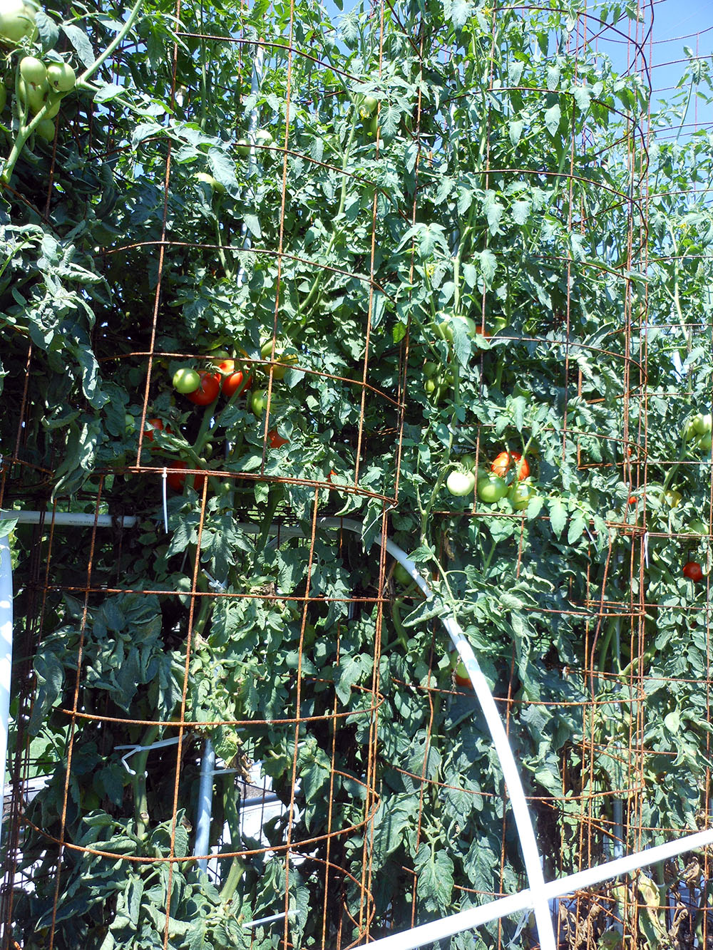 07-30-2016 Tomato Plants St Pauls S 11