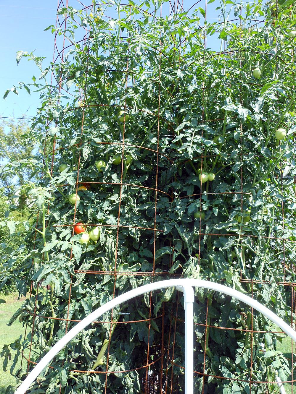 07-30-2016 Tomato Plants St Pauls S 14