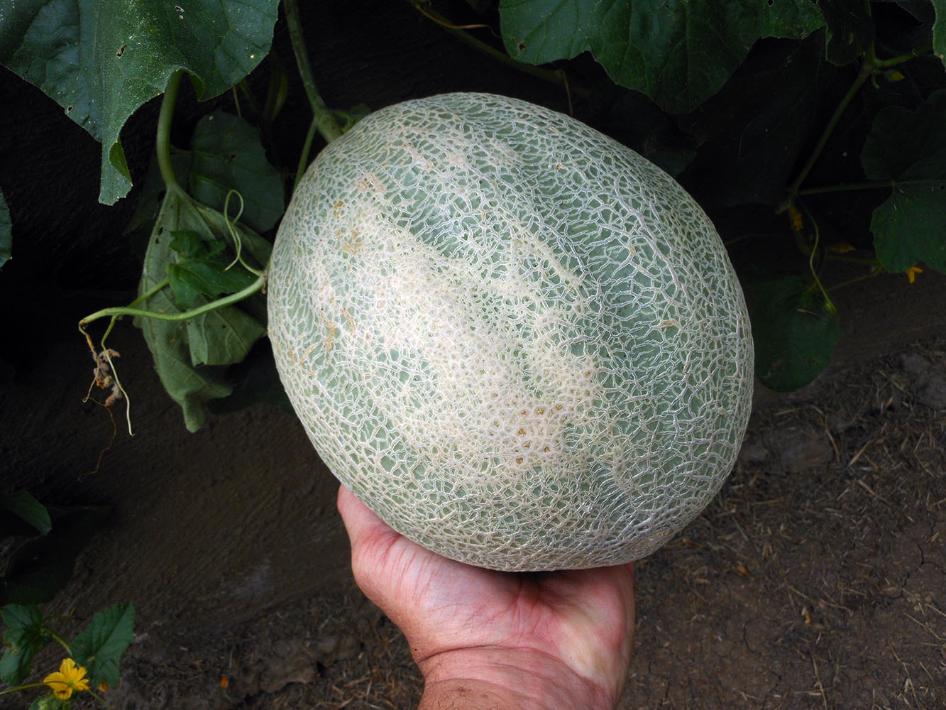 08-04-2016 Cantaloupe Plant 04