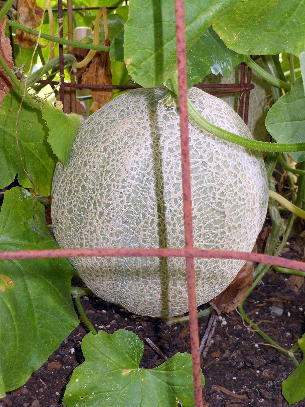 08-04-2016 Cantaloupe Plant 08
