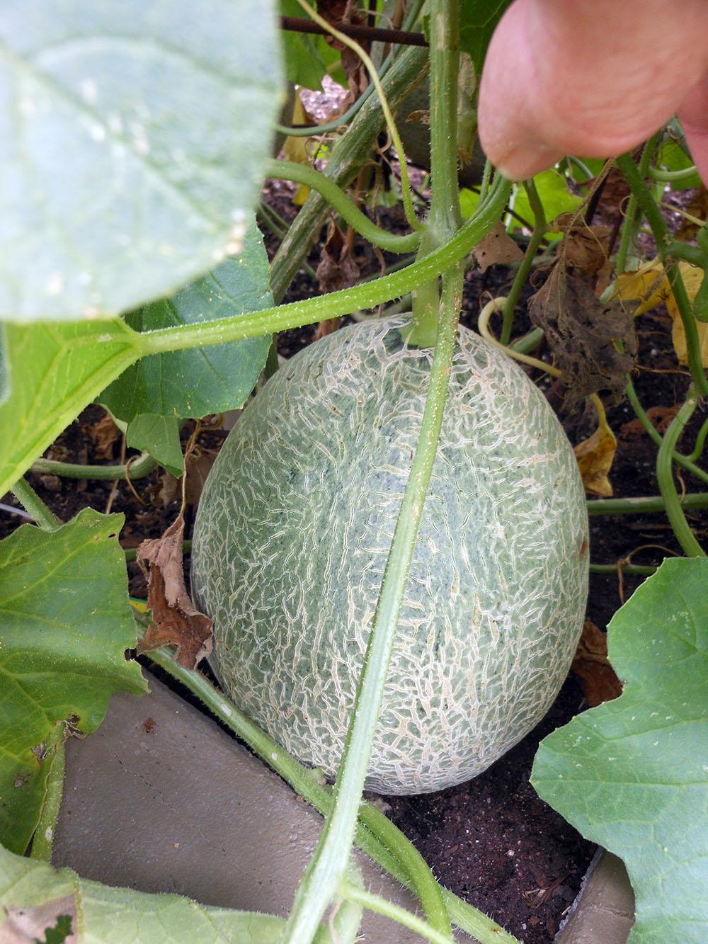 08-04-2016 Cantaloupe Plant 10