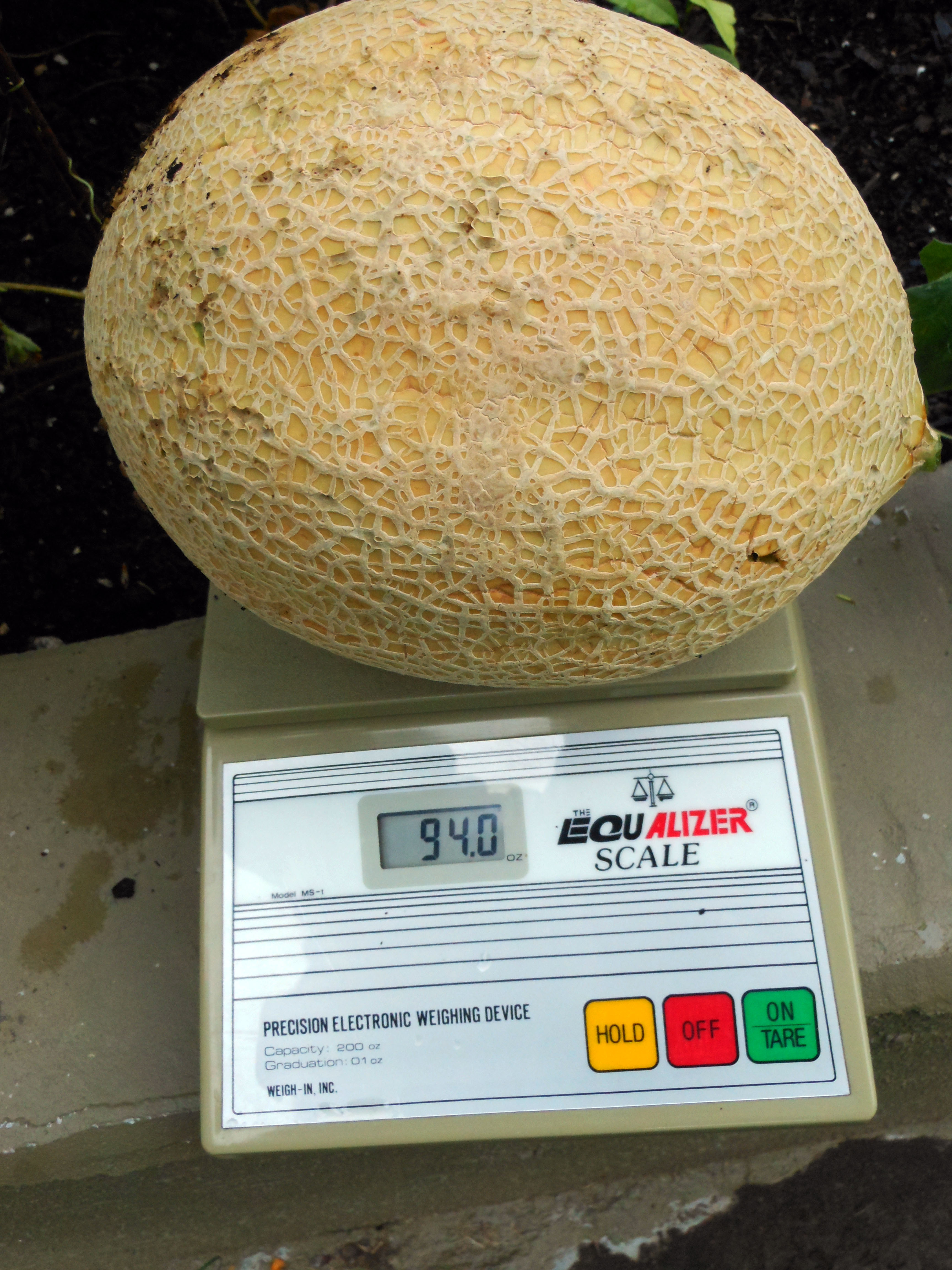 08-18-2016-cantaloupe-plant-11